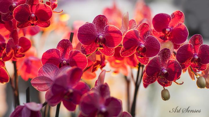 Изложба на орхидеи в Ботаническата градина
