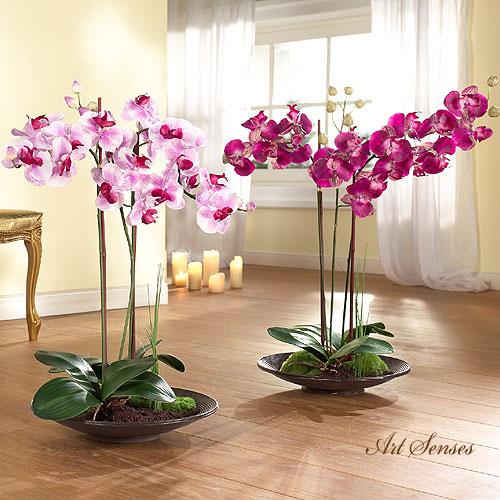 Орхидея Фаленопсис - как да изберем, отгледаме и полагаме грижи