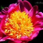 Божурът (Paeonia) - господарят в градината