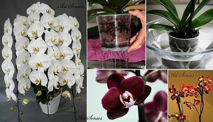 Орхидея Фаленопсис - поливане и торене