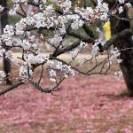 Великите японски градини - Кайраку-ен