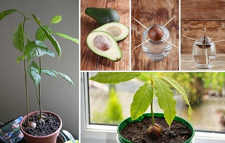 Да отгледаш авокадо у дома